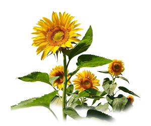 AgroChart Sunflower
